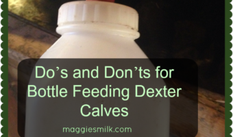 Do's and Don'ts for Bottle Feeding a Dexter Calf