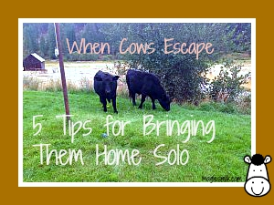 When Cows Escape: 5 Tips for Bringing Them Home