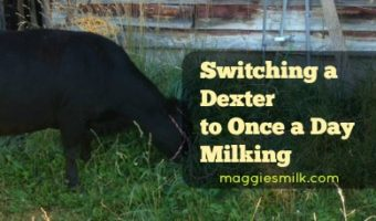 Switching a Dexter to Once a Day Milking