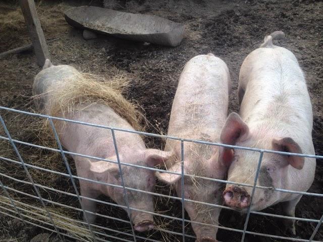 The Whole Hog!