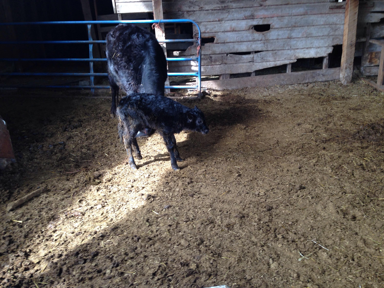 Calf #1