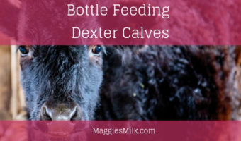 bottle feeding dexter calves
