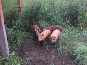 Teaching piglets to use an automatic waterer can be frustrating. But, I found a trick!