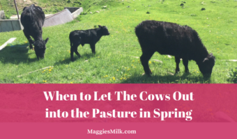 When to Let The Cows Out into the Pasture in Spring